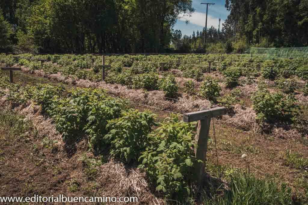 Cultivo de frambuesas